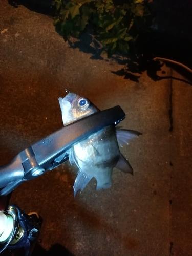 ヨコスジイシモチの釣果