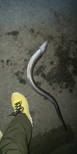 クロアナゴの釣果