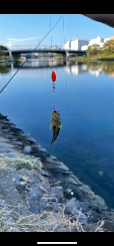 ウロハゼの釣果