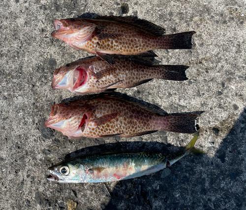 オオモンハタの釣果