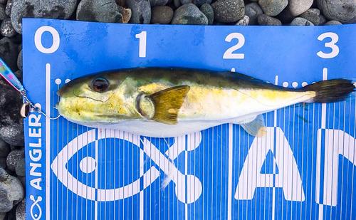 クロサバフグの釣果