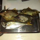 matsumatsuの釣果