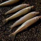釣りキチ郎の釣果