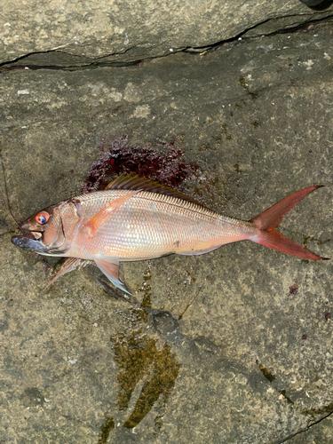 アオチビキの釣果