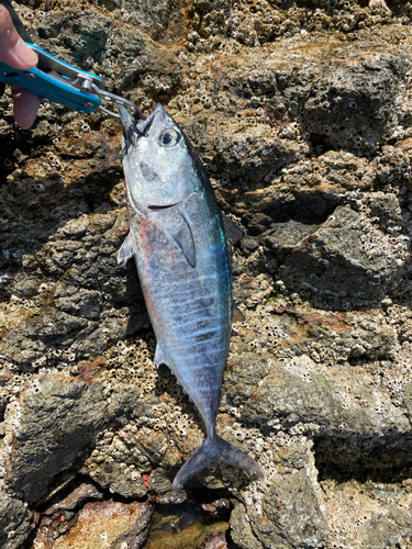 クロマグロの釣果