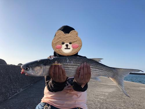 ボラの釣果
