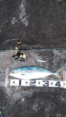 イナダの釣果