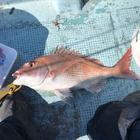 陸奥湾で釣り三昧の釣果