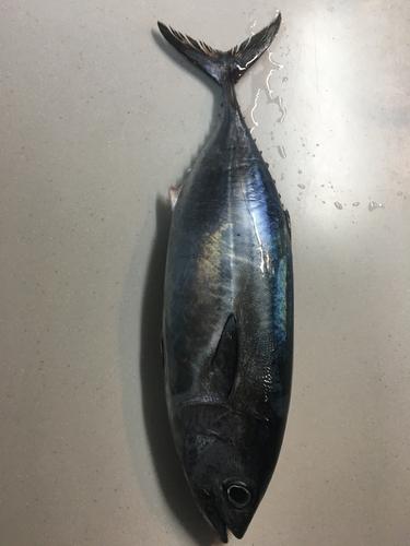 マグロの釣果