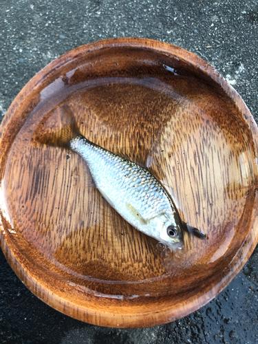 ヤリタナゴの釣果