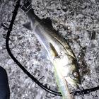 ペルーニョの釣果