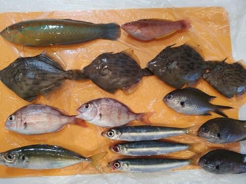 ホシササノハベラの釣果