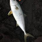 シマアジアングラーの釣果