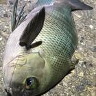 釣った🐟は食べるの釣果