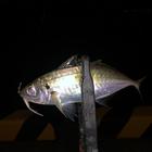 鹿児島のアジンガーin別府の釣果