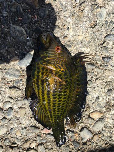 オハグロベラの釣果