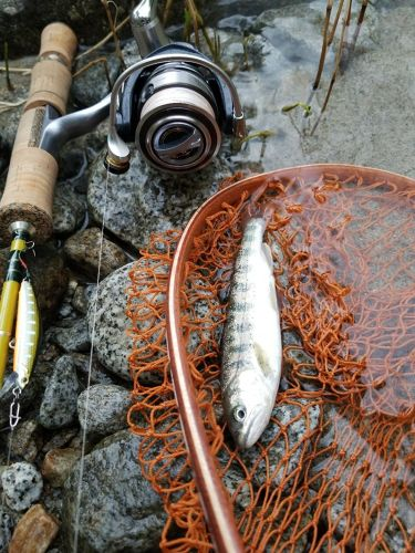 アマゴの釣果