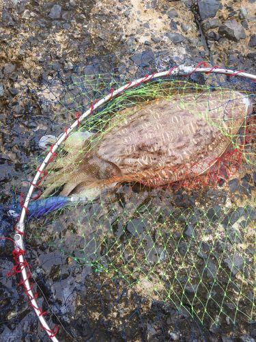モンゴイカの釣果