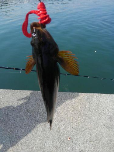 クジメの釣果