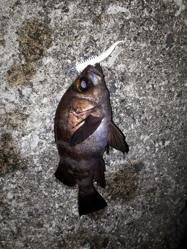 シロメバルの釣果