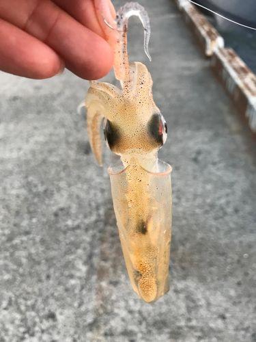 ジンドウイカの釣果