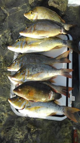 ハマフエフキの釣果
