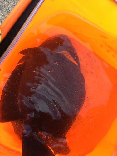 ニセカンランハギの釣果