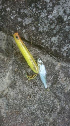 オイカワの釣果