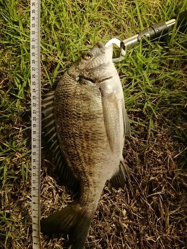 オキナワキチヌの釣果