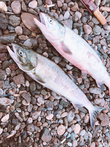 サケの釣果