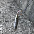 haru_koubouの釣果