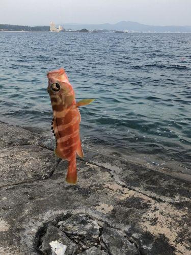アカミーバイの釣果