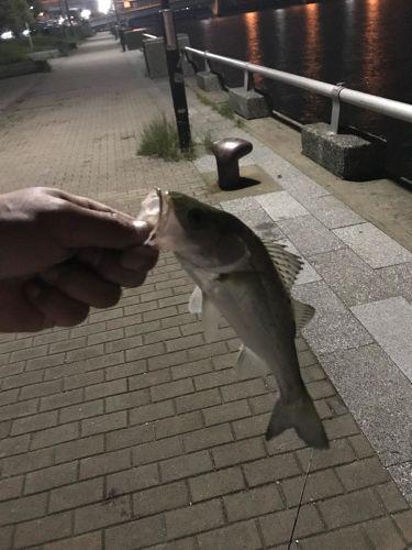 セイゴ(ヒラスズキ)の釣果