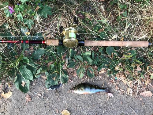 ヨーロピアンパーチの釣果