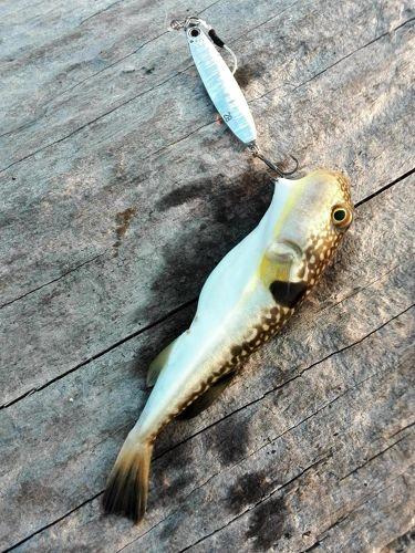 コモンフグの釣果