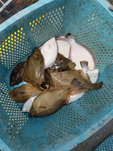 マコガレイの釣果